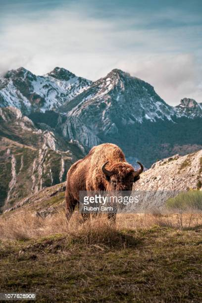 beautiful portrait of a bison in the snowcapped mountains - mammal stock pictures, royalty-free photos & images