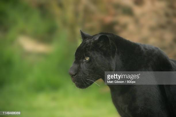 beautiful portrait of black panther panthera pardus in colorful - black panther face stock photos and pictures