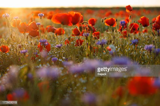 Beautiful purple and red poppy field in hazy sunlight