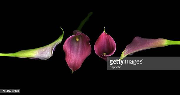 beautiful purple calla lilies - calle foto e immagini stock