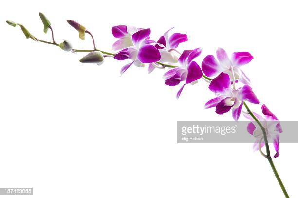 Beautiful purple dendrobium orchids on white.
