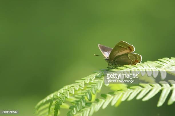 a beautiful purple hairstreak butterfly (favonius quercus) perched on a bracken leaf. - hertford hertfordshire stockfoto's en -beelden