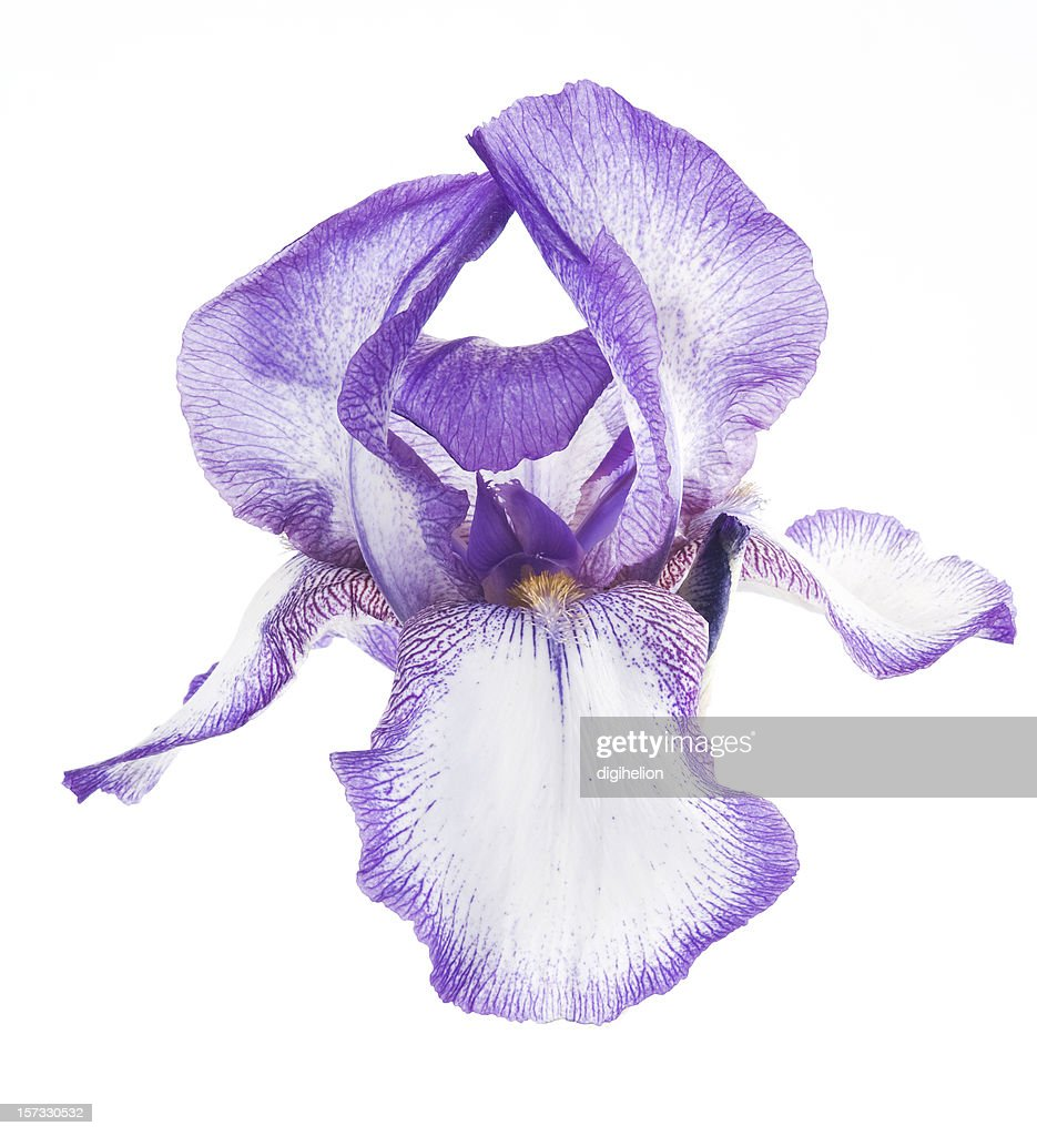 Iris Plant Stock Photos And Pictures Getty Images