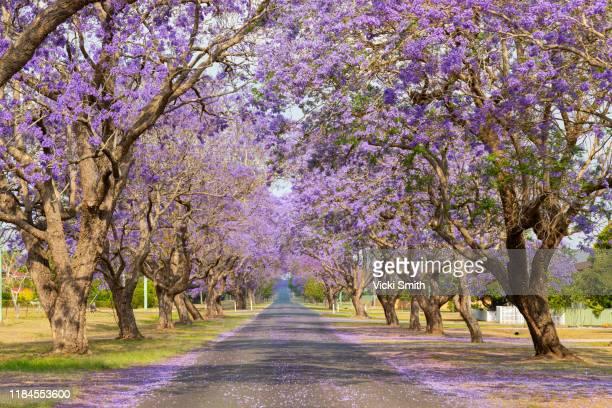 beautiful purple jacaranda tree lined street - jacaranda ストックフォトと画像