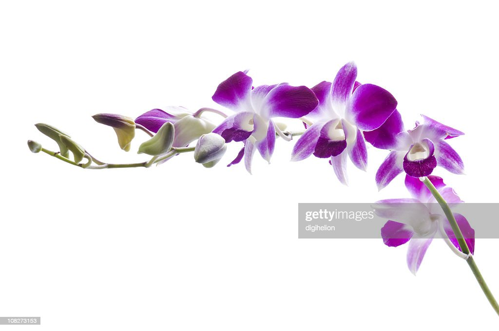Beautiful Purple Orchids on White Background : Stock Photo