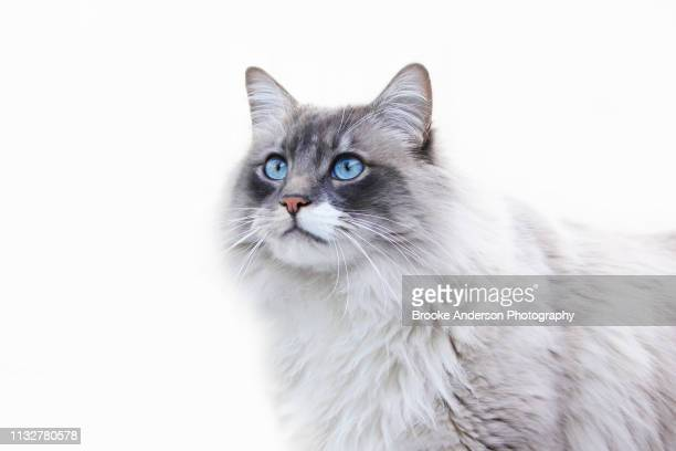 Beautiful Ragdoll Cat Against White Background