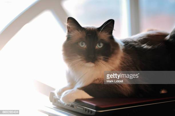 Beautiful ragdoll cat sitting on top of a laptop computer