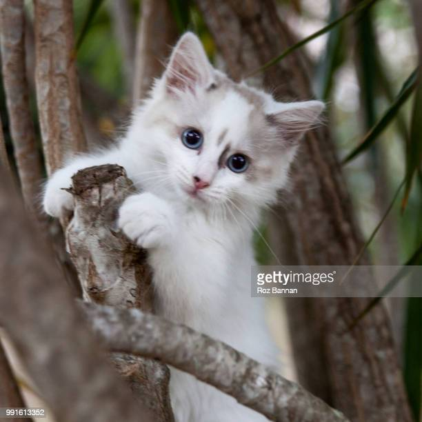 beautiful ragdoll kittens playing - ragdoll cat stock pictures, royalty-free photos & images