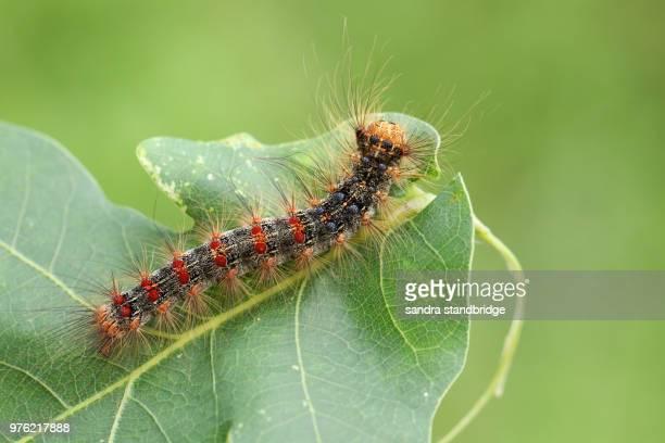 a beautiful rare gypsy moth caterpillar (lymantria dispar) feeding on an oak tree leaf in woodland. - gypsy moth caterpillar stock pictures, royalty-free photos & images
