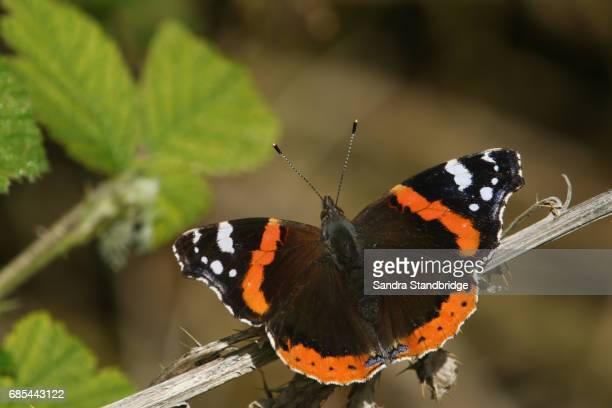 A beautiful Red Admiral Butterfly (Vanessa atalanta) perched on a plant with its wings open.