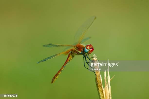 bella libellula rossa su un gambo - insetto foto e immagini stock