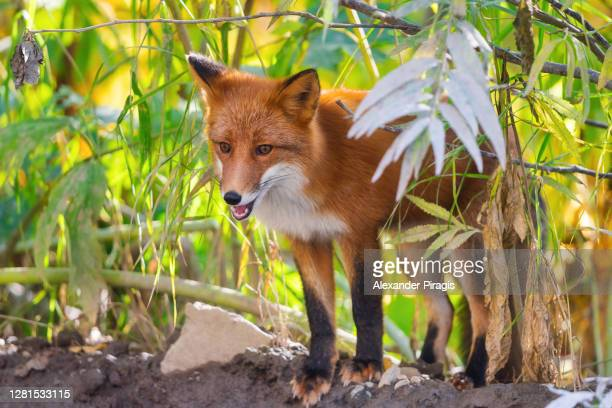 beautiful red fox with fiery fur color standing on background of autumn forest - eurasia stock pictures, royalty-free photos & images