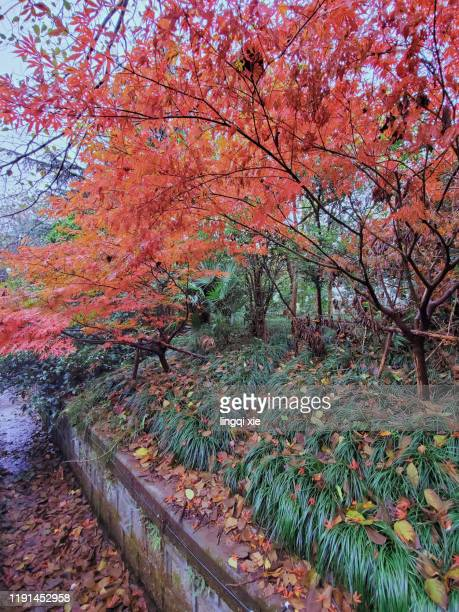 beautiful red maple leaves on lingyin road in hangzhou, china in autumn - 太行山脈 ストックフォトと画像