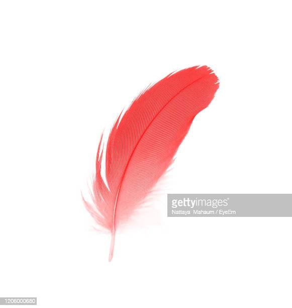 beautiful red maroon feather isolated on white background - feather stock pictures, royalty-free photos & images