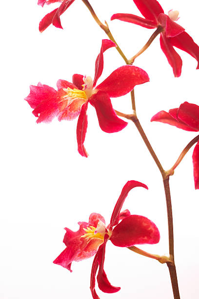 Beautiful red orchids isolated on white