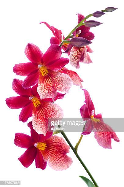 Beautiful red orchids on white background