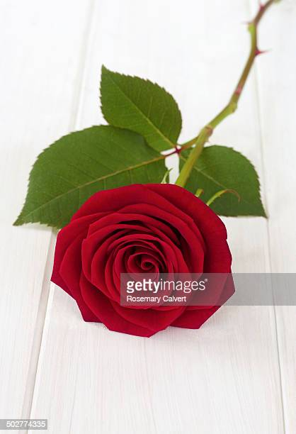 Beautiful red rose and leaf on white