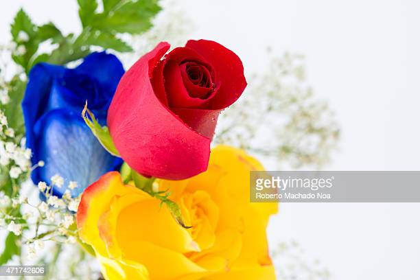 Beautiful red yellow and blue roses in white background with copy space