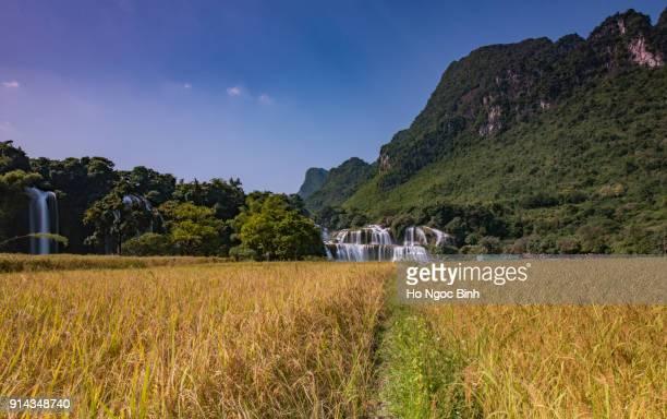 Beautiful rice field in front of Ban Gioc Waterfall/Detian Waterfall
