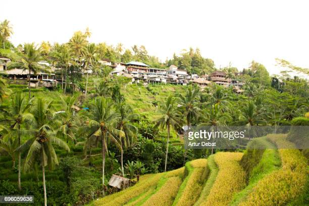 Beautiful rice terrace in the Bali island with water and palm trees.