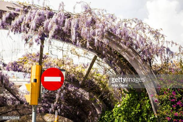 Beautiful road covered with blooming Glicina flowers during springtime and warm weather in a the Barcelona street with nice sunlight and no traffic.