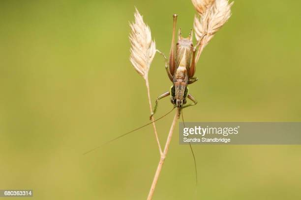 a beautiful roesel's bush cricket (metrioptera roeselii) perched on a grass seed head. - cricket insect stock pictures, royalty-free photos & images