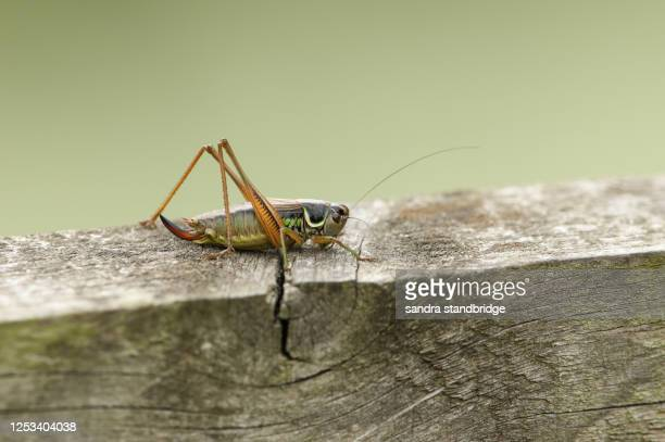 a beautiful roesel's bush cricket (metrioptera roeselii) perched on a wood fence. - england cricket stock pictures, royalty-free photos & images