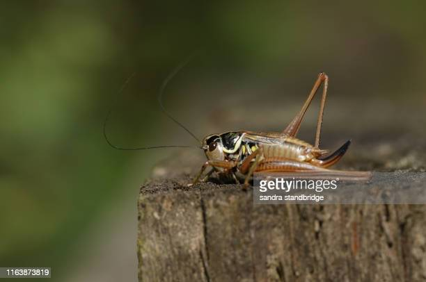 a beautiful roesel's bush-cricket, metrioptera roeselii, perching on a wooden fence post. - england cricket stock pictures, royalty-free photos & images