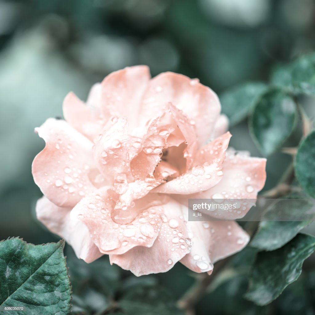 Beautiful Romantic Pink Roses Flowers With Dew Soft Selective Stock