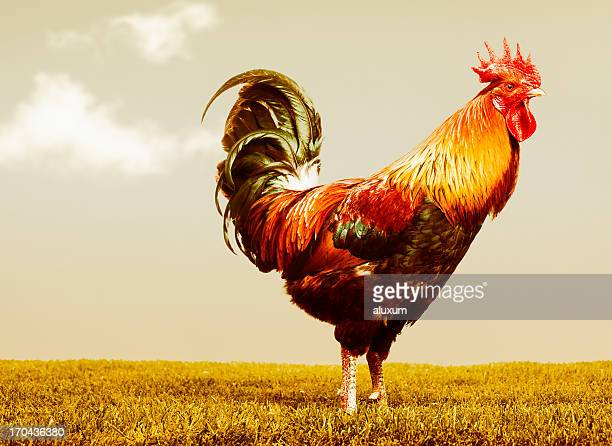beautiful rooster - cockerel stock pictures, royalty-free photos & images