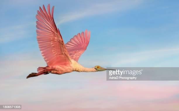 beautiful roseate spoonbill in flight - pájaro tropical fotografías e imágenes de stock