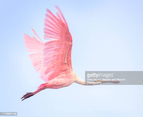beautiful roseate spoonbill in pink flying against blue sky at fort myers beach, florida - fort myers stock pictures, royalty-free photos & images