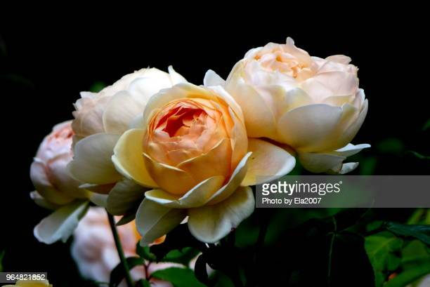 Beautiful roses bloom at night