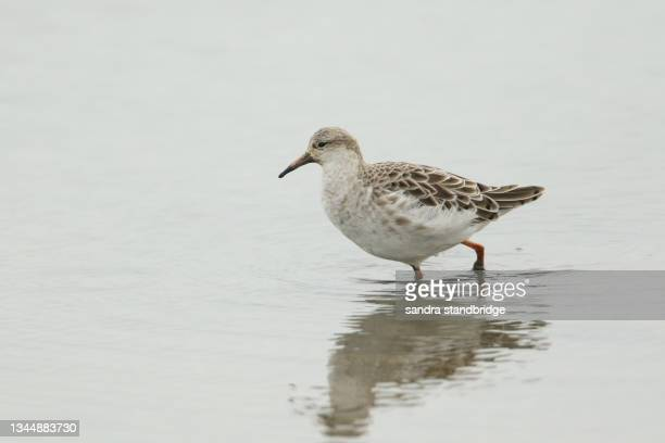 a beautiful ruff (philomachus pugnax)  feeding along the edge of a freshwater coastal estuary. - waders stock pictures, royalty-free photos & images