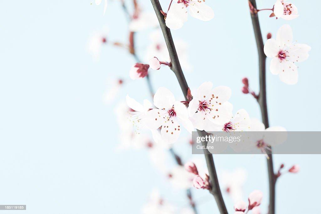 美しい桜の : ストックフォト