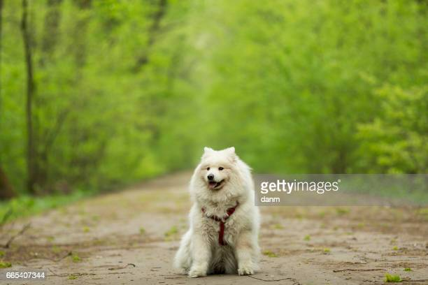 beautiful Samoyed in the woods