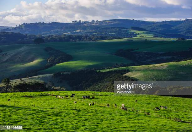 beautiful scenery in the hinterland of northland, north island, new zealand - grazing stock pictures, royalty-free photos & images
