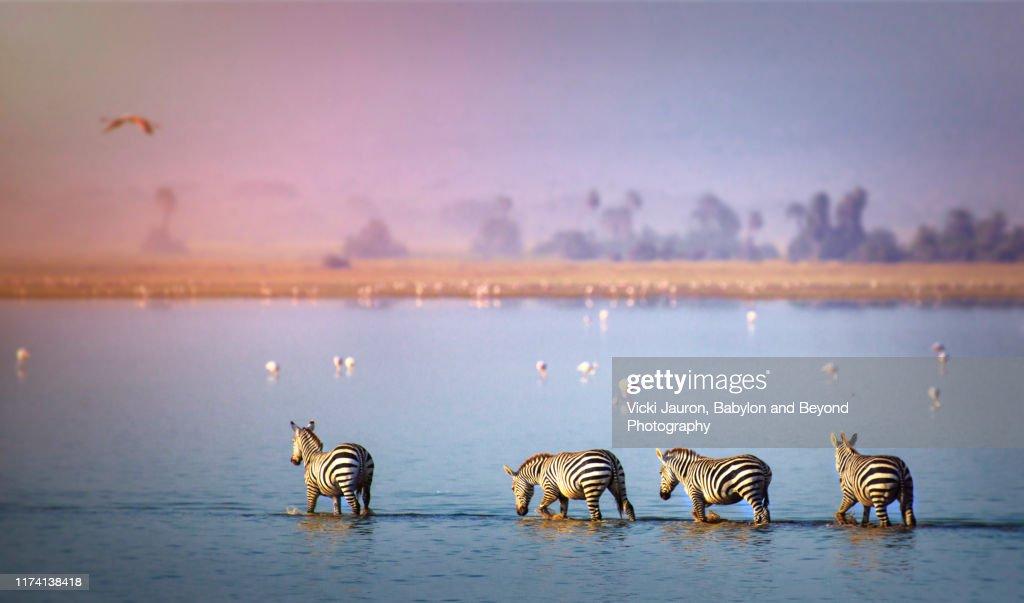 Beautiful Scenic of Zebra and Flamingo in the Lake at Amboseli, Kenya : Foto de stock