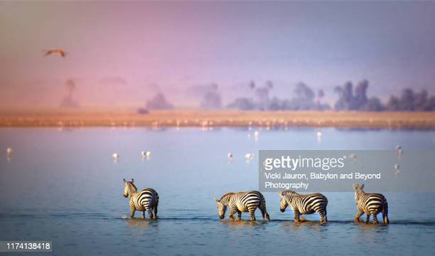beautiful scenic of zebra and flamingo in the lake at amboseli, kenya - wildlife reserve stock pictures, royalty-free photos & images