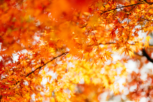 Beautiful scenics of red Japanese maple leaves in natural park - gettyimageskorea