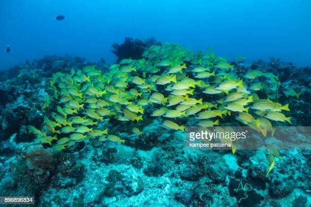 beautiful school of fish yellow snapper, indian ocean, maldives - yellow perch stock photos and pictures