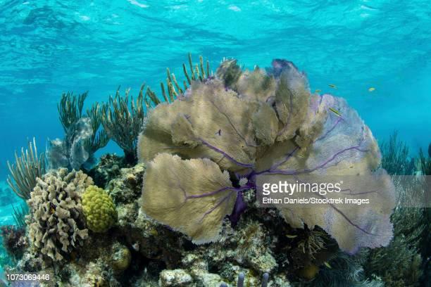 A beautiful sea fan along the edge of Turneffe Atoll in the Caribbean Sea.