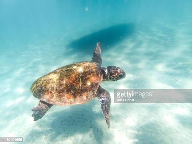 beautiful sea turtle swimming underwater in the island of zakynthos. greece. - slow motion stock pictures, royalty-free photos & images