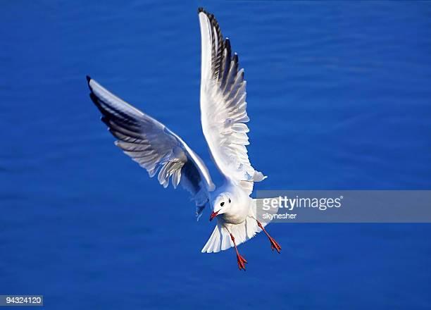 Magnifique Mouette avec ailes ouvertes