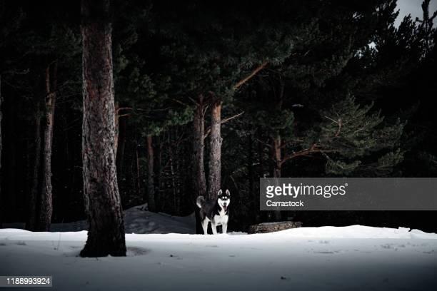 beautiful siberian husky posing in snowy landscape - マラミュート犬 ストックフォトと画像