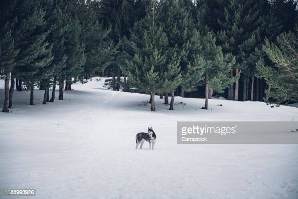 beautiful siberian husky posing in snowy landscape - husky dog stock pictures, royalty-free photos & images