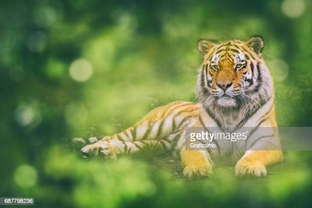 Beautiful siberian tiger lying resting on the ground
