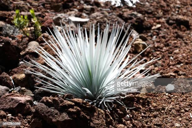 a beautiful silversword plant on top of maui - argyroxiphium sandwicense - fotografias e filmes do acervo