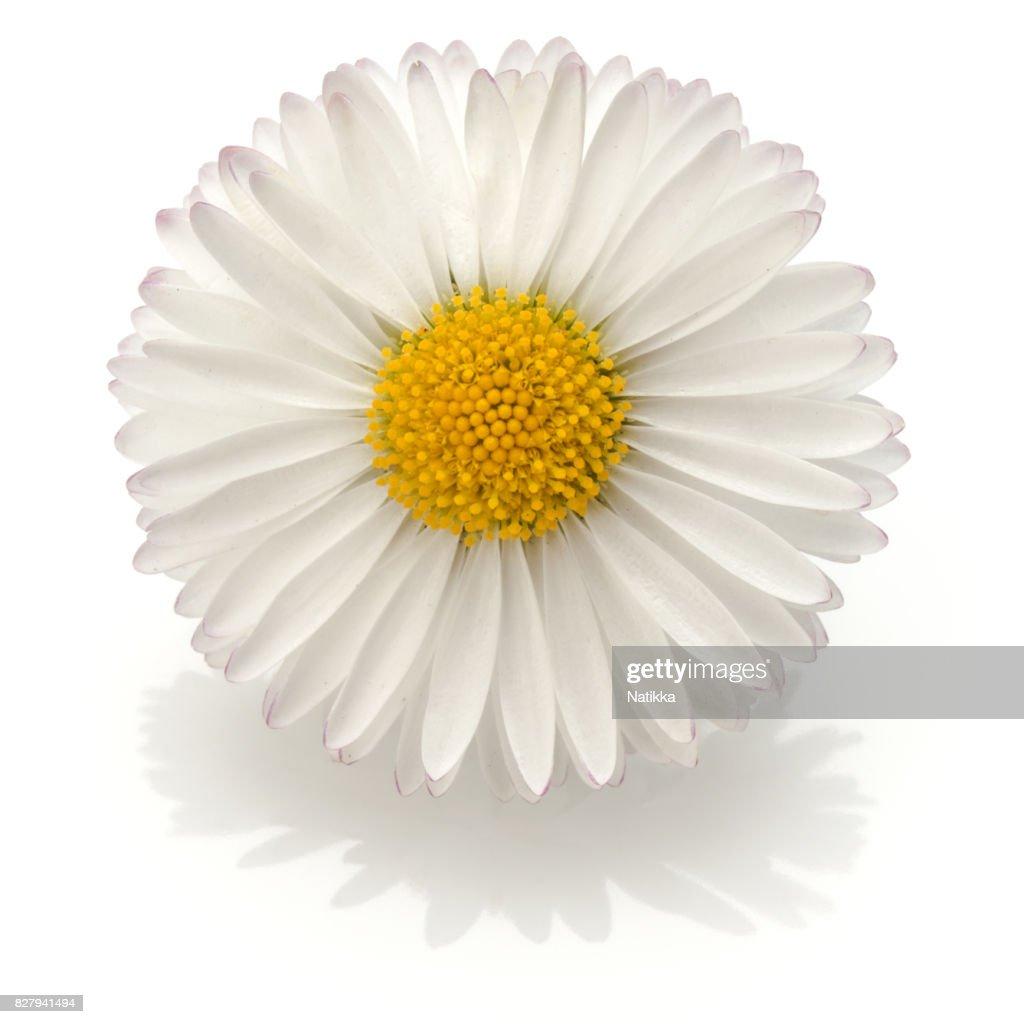Beautiful Single Daisy Flower Isolated On White Background Cutou