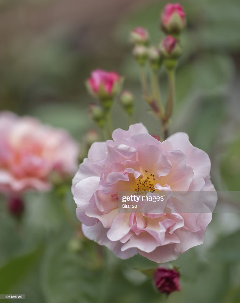 Beautiful Single Light Pink Rose Stock Photo Getty Images